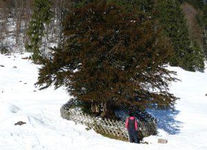 Ältester Baum Deutschlands - Eibe Balderschwang