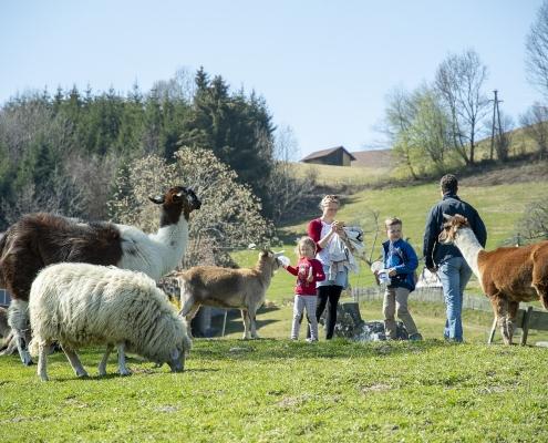 Alpakas und Lamas